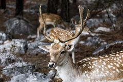 Spotted deer Axis axis in the forest. Spotted deer, male Axis axis in the natural habitat Macedonia, northwest Greece Stock Photo