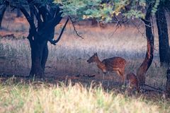Spotted deer or Axis in national park Ranthambore. Female spotted deer or Axis grazes known as chital in Ranthambore national reserve in India Royalty Free Stock Images