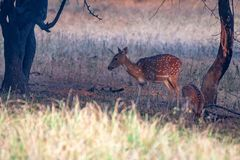 Spotted deer or Axis in national park Ranthambore. Female spotted deer or Axis grazes known as chital in Ranthambore national reserve in India Royalty Free Stock Image