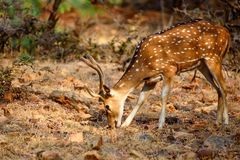 Spotted deer or Axis in national park Ranthambore. Male spotted deer or Axis grazes known as chital in Ranthambore national reserve in India Royalty Free Stock Images