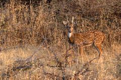 Spotted deer or Axis in national park Ranthambore. Male spotted deer or Axis grazes known as chital in Ranthambore national reserve in India Stock Image