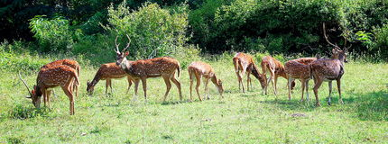 Spotted deer in bandipur national park. Group of spotted dear grazing in Bandipur National park near Bangalore, India Royalty Free Stock Image