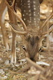 The spotted Deer!. The beautiful spotted deer out in the jungle Stock Photography