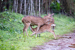 Spotted deer breast feeding Stock Photo