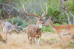 Spotted Deer Buck Stock Photo