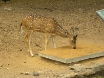 Spotted deer or Cheetal Axis axis eating. Food Stock Images