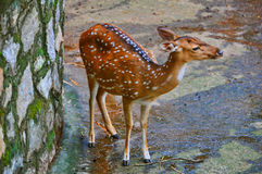 Spotted deer (chital). The image of this chital (spotted deer) was captured at the trivandrum zoo located at kerala, India Stock Images