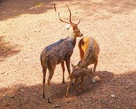 A Spotted Deer/Chital/Cheetal Family. This is a photograph of a family of a spotted deer, also known as chital, cheetal, or axis axis, captured at the zoo Royalty Free Stock Photos