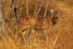 Spotted Deer of Chital at Sagareshwar wildlife sanctuary, Sangli, Maharashtra. India stock photo