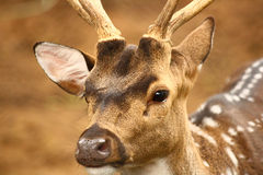 Spotted Deer Closeup at Zoological Park Stock Photography