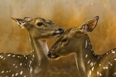 Spotted Deer in the Zoo royalty free stock photo