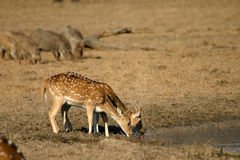 Spotted deer drinking Royalty Free Stock Photo