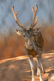 Spotted deer in Dusit Zoo in Bangkok., THAILAND. Royalty Free Stock Photo