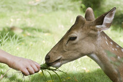 Spotted deer eating grass in Bardia, Nepal Stock Photos