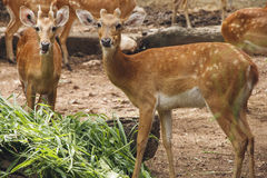 Spotted deer eating grass. In a zoological park Stock Images