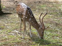 Spotted deer eating green grass. Juvenile male spotted deer or Chital or Axis deer with antlers eating green grass Royalty Free Stock Images