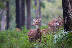 Spotted deer family in forest. Spotted deer pair standing in a forest Royalty Free Stock Photography