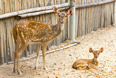 Spotted Deer Family. Stock Photography