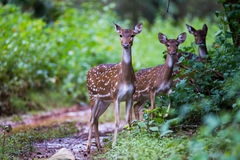Spotted deer family. Spotted deer pair standing in a forestnCanon 350mm f6 ISO 400 1/1250 Stock Photography