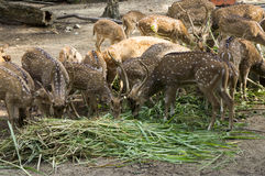 Spotted Deer at The Farm Stock Photo