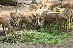 Spotted Deer at The Farm Royalty Free Stock Photography