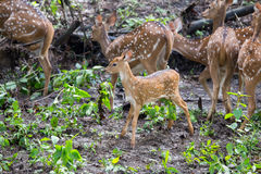 Spotted deer faun. Canon 6D f4 1/2500 ISO 500 400mm Stock Photography