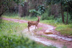 Spotted deer faun in habitat Royalty Free Stock Photos