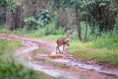 Spotted deer faun running on road. Canon 6D f4 1/2500 ISO 500 400mm Stock Images