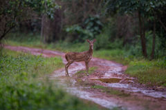 Spotted deer faun. Spotted deer faun standing in a forest Stock Image