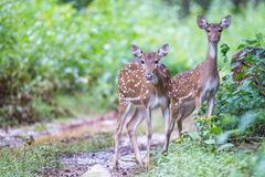 Spotted deer fauns in forest. Canon 6D f4 1/2500 ISO 500 400mm Stock Image