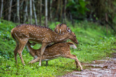 Spotted deer fawn breast feeding. Spotted deer faun breat feeding in bhadra tiger reserve of India Royalty Free Stock Image