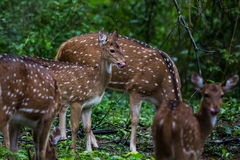 Spotted deer fawn. Spotted deer faun breat feeding in bhadra tiger reserve of India Royalty Free Stock Images