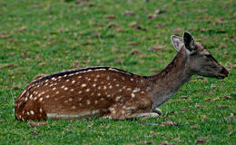 Spotted deer fawn on grass Royalty Free Stock Images