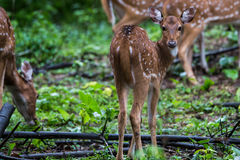 Spotted deer fawn looking at camera. Spotted deer faun sighted in bhadra tiger reserve of India Stock Images