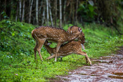 Spotted deer fawn nursing. Spotted deer faun sighted in bhadra tiger reserve of India Royalty Free Stock Image