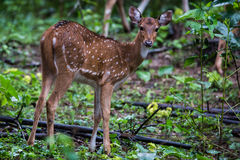 Spotted deer fawn staring Royalty Free Stock Image