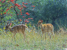 Spotted deer fawns Stock Images