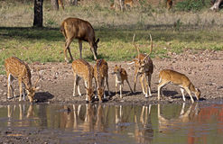 Spotted deer fawns at pond Stock Photo