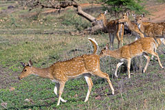 Spotted deer fawns at pond Stock Photography