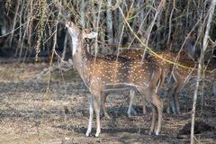 Spotted deer feeding on bamboo seeds Stock Photo