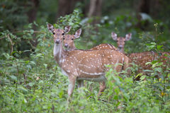 Spotted deer feeding in forest. Canon 6D f4 1/2500 ISO 500 400mm Royalty Free Stock Photo