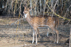 Spotted deer feeding under bamboo Stock Images