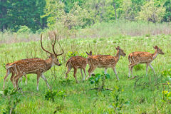 Spotted deer Female Royalty Free Stock Image