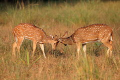 Spotted deer fighting. Young male spotted deer or chital (Axis axis) fighting, Kanha National Park, India Stock Photos