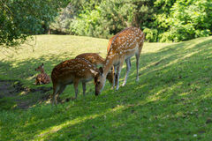 Spotted deer foraging Royalty Free Stock Images