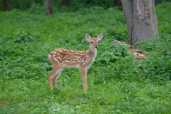 Spotted deer in the forest on green grass Stock Photos