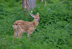 Spotted deer in the forest on green grass Stock Photo