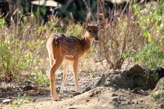 Spotted Deer Found Common In Indian Peninsula Stock Photos