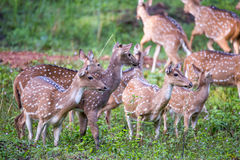 Spotted deer gang Royalty Free Stock Image
