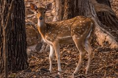 Spotted Deer in Gir Jungle, Gujarat, India. A female spotted deer amongst dry leaves and trees on the wildlife reserve of sasan gir gujarat india Stock Photos